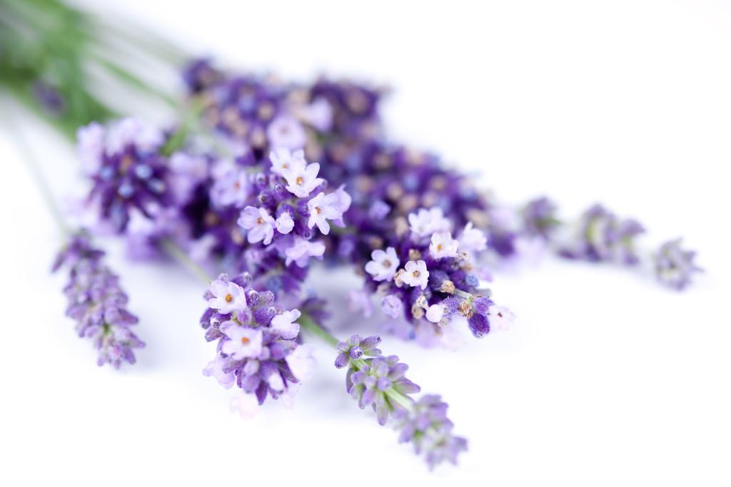 soft_purple_lavender_flowers_nature_hd-wallpaper-1899365